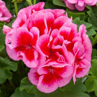 Geranium Rose Mega Splash - Hanging Basket