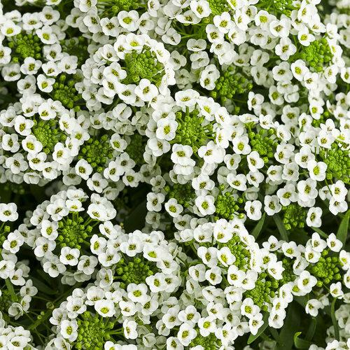 Lobularia White Knight - Bag