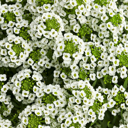 Lobularia White Knight - Hanging Basket