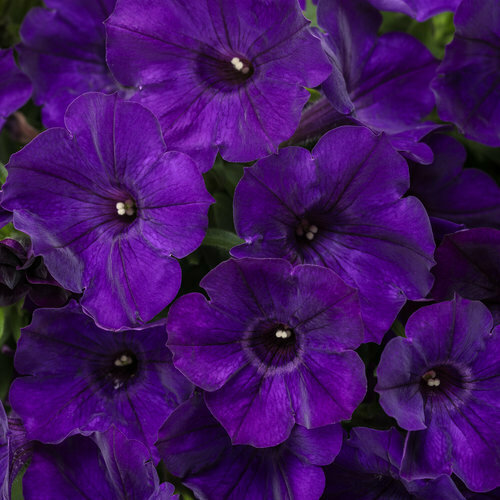 Petunia Royal Velvet - Bag