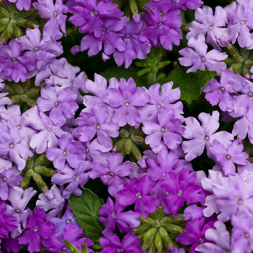 Verbena Lilac Blue - Hanging Basket