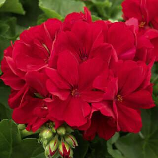 Geranium Calliope Large Dark Red - Hanging Basket