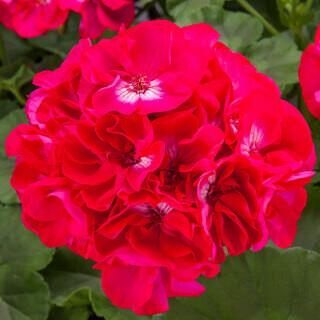 Geranium Hot Rose - Hanging Basket