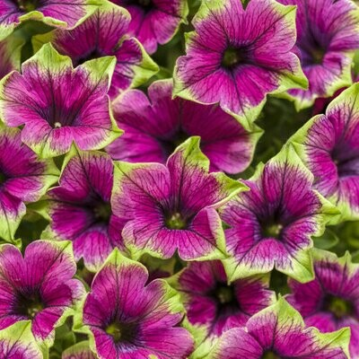 Petunia Picasso in Purple - Hanging Basket