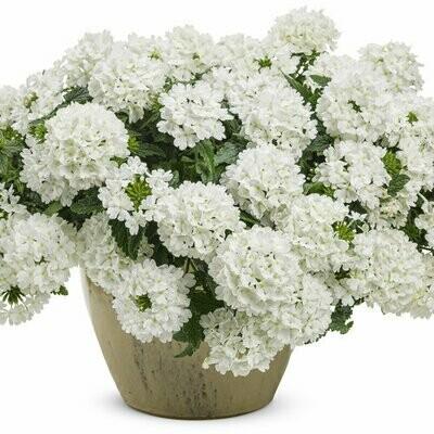 Verbena Whiteout - Hanging Basket
