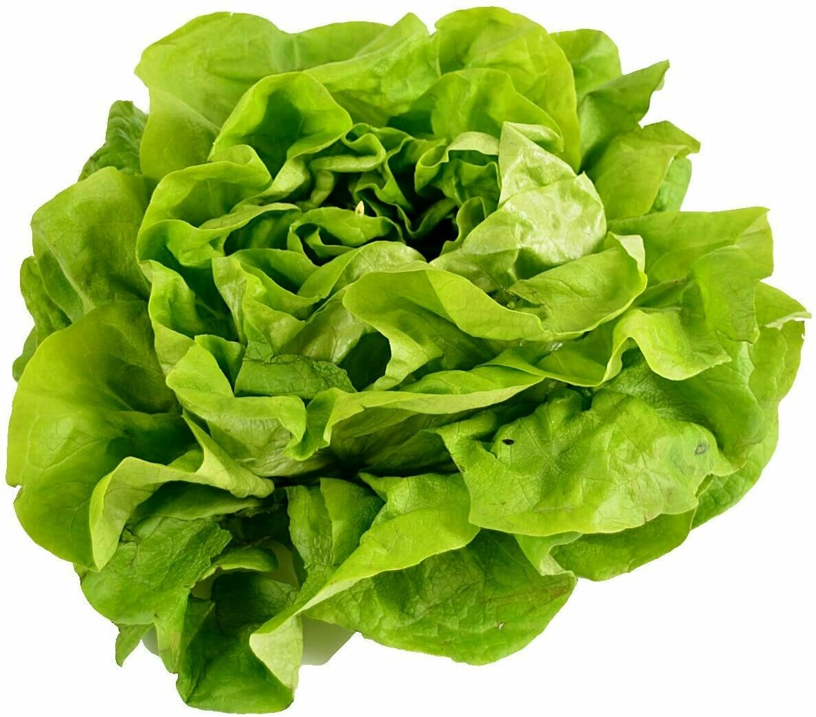 Green Buttercrunch Lettuce