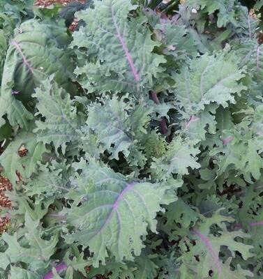 Red Kale Plants