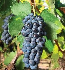 Concord Grapes 1.5L