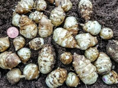 Sunchoke seed tubers (for planting)