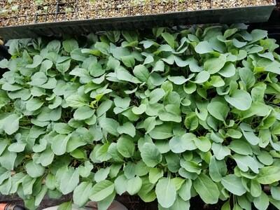 Cauliflower plant plug