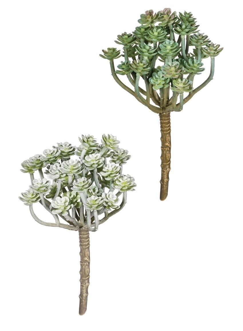 Aeonium Pick - LSUL