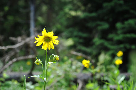 Yellow Wild Flower Colorado