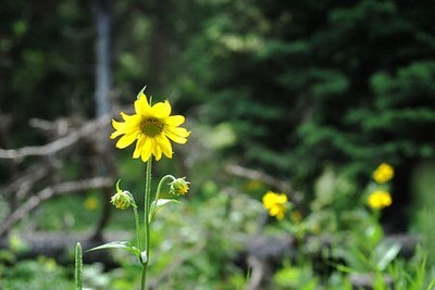 Yellow Wild Flower Colorado