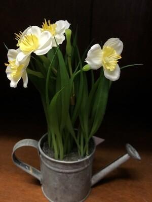 Daffodil in Watering Can