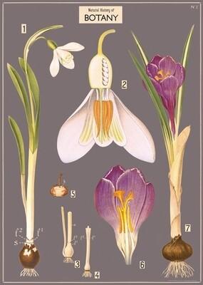Crocus Botany Poster #103