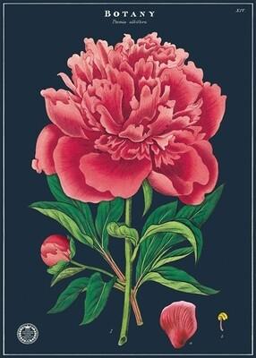 Peony Botany Poster #105