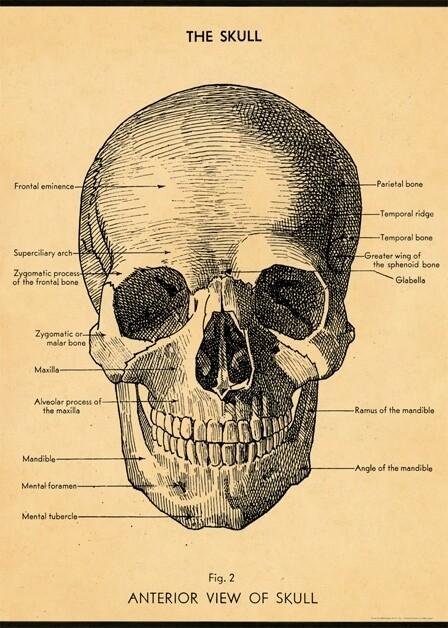Skull Poster #212