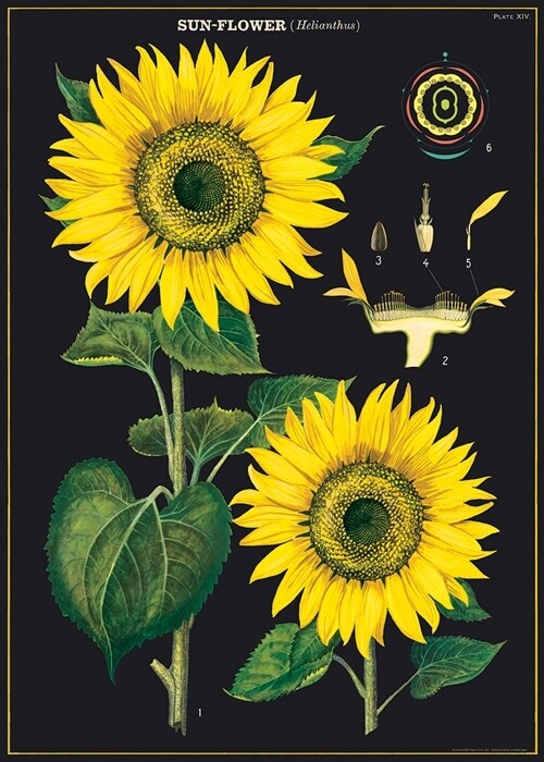 Sunflowers Poster #115