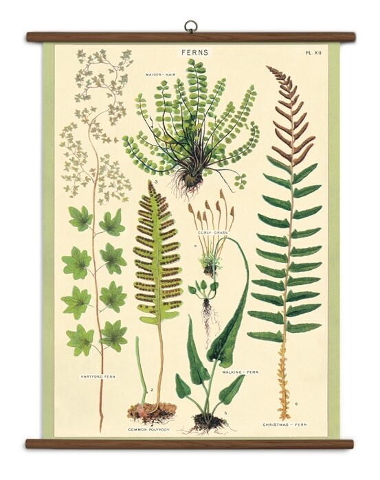 Ferns Large School Chart