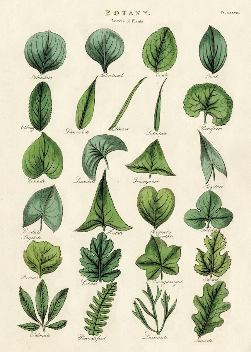 Botany Leaves Poster #113