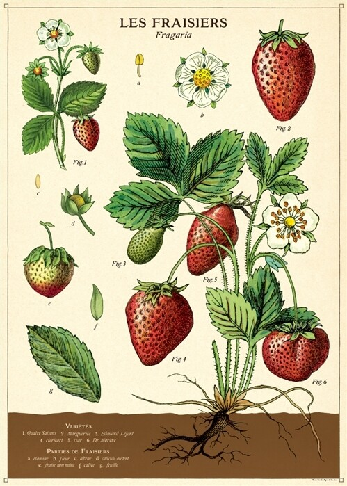 Strawberries Posters #113