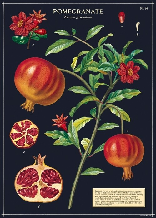 Pomegranate Poster #110