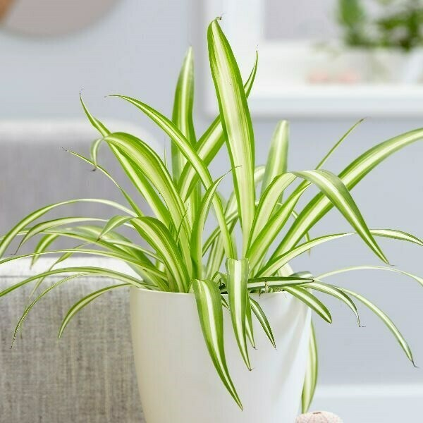 Spider Plant #4