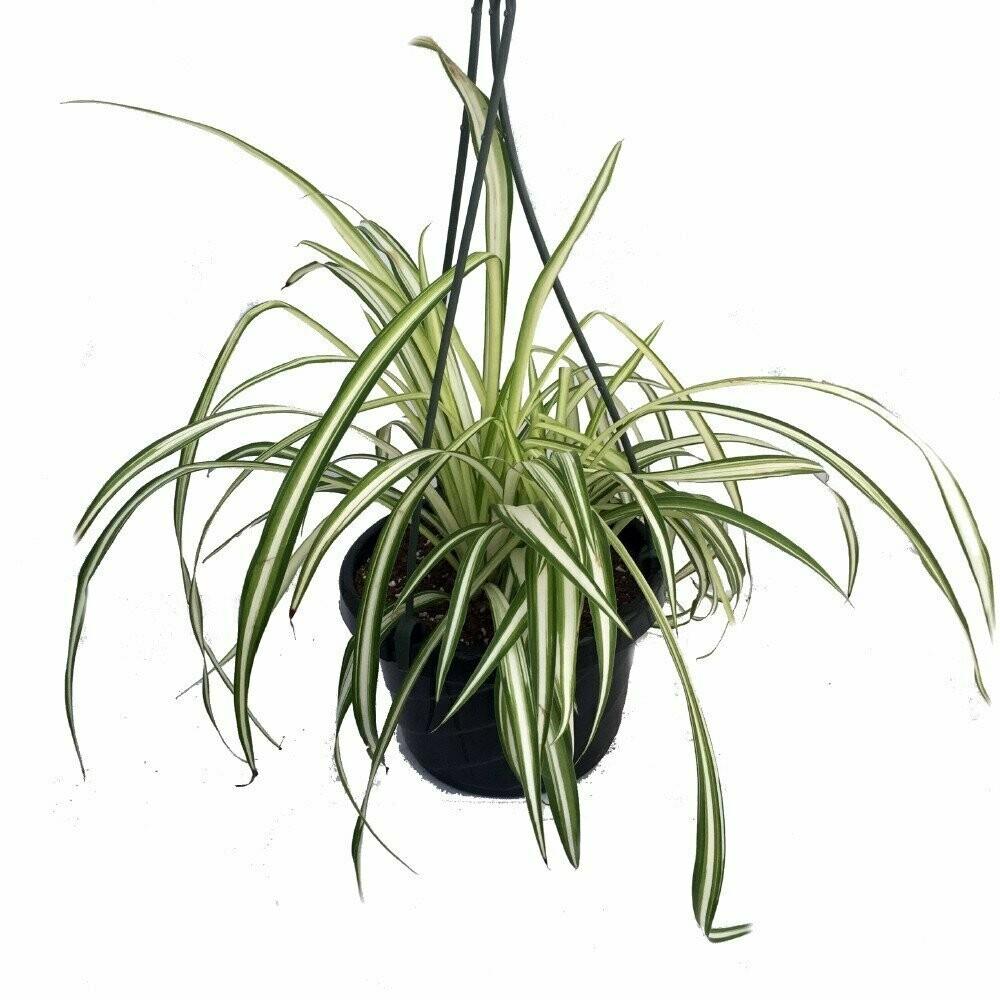 """Spider Plant 10"""" Hanging Basket"""