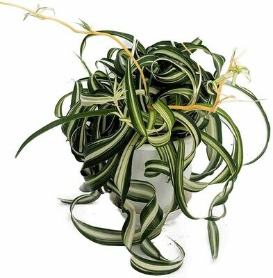 Spider Plant Curly #4