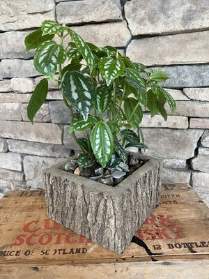 Allumium in Oak Planter
