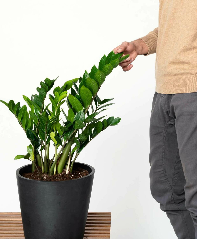 """ZZ Plant  Zamioculcas Zamiifolia 8 in.14"""" H"""