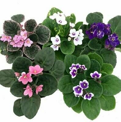 "African Violet Saintpaulia Ionantha 4in. 2""H"