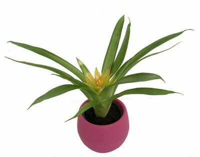 "Bromeliad Asst. self water pot 2in. 3""H"