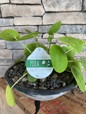 Potted Chinese Money Plant - Pilea