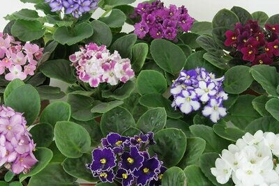 African Violet Saintpaulia Ionantha 5 in.