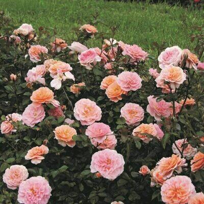Rosa 'Meimirrote' 3 gal