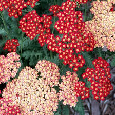 Achillea 'Strawberry Seduction' 1 gal