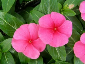 Vinca 4 Pack - Pacifica Punch