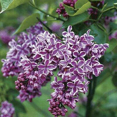 Syringa vulgaris 'Sensation' 5 gal
