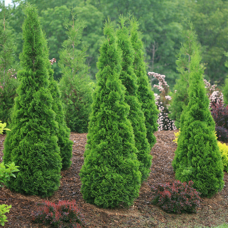 Thuja Occidentalis 'North Pole' (7 Gal)