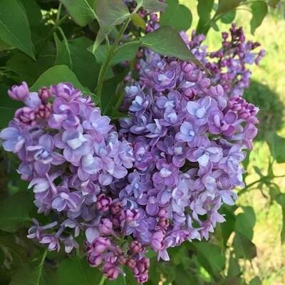 Syringa x hyacinthiflora 'Scentara Double Blue' 3 gal