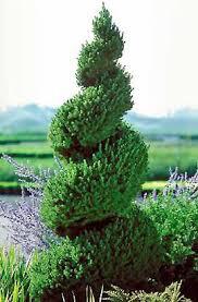 Picea glauca 'Conica' - Dwarf Alberta Spruce Spiral 5 gal