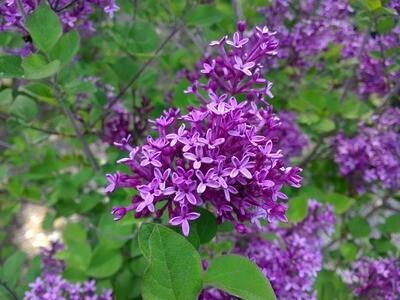Syringa 'Bloomerang Dark Purple' 3 gal
