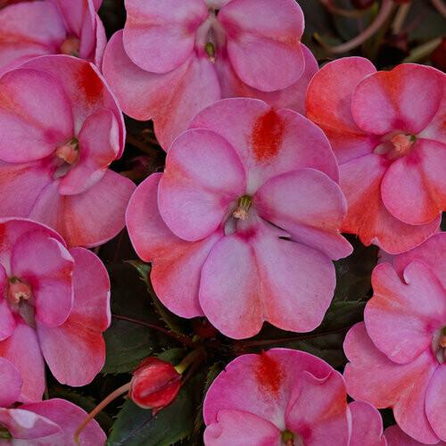"Sunpatiens 4"" - Pink Candy"