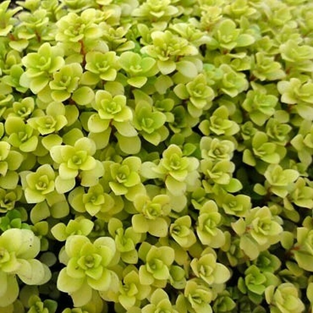 Succulent Mix - Ogon