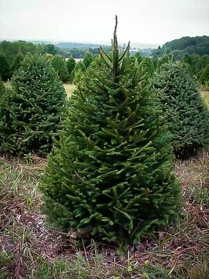 Spruce, Norway 5ft. - 6ft.