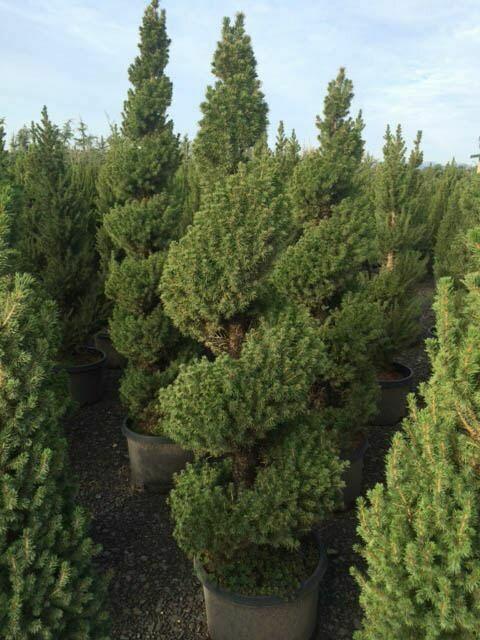 Picea glauca 'Conica' 10 gal