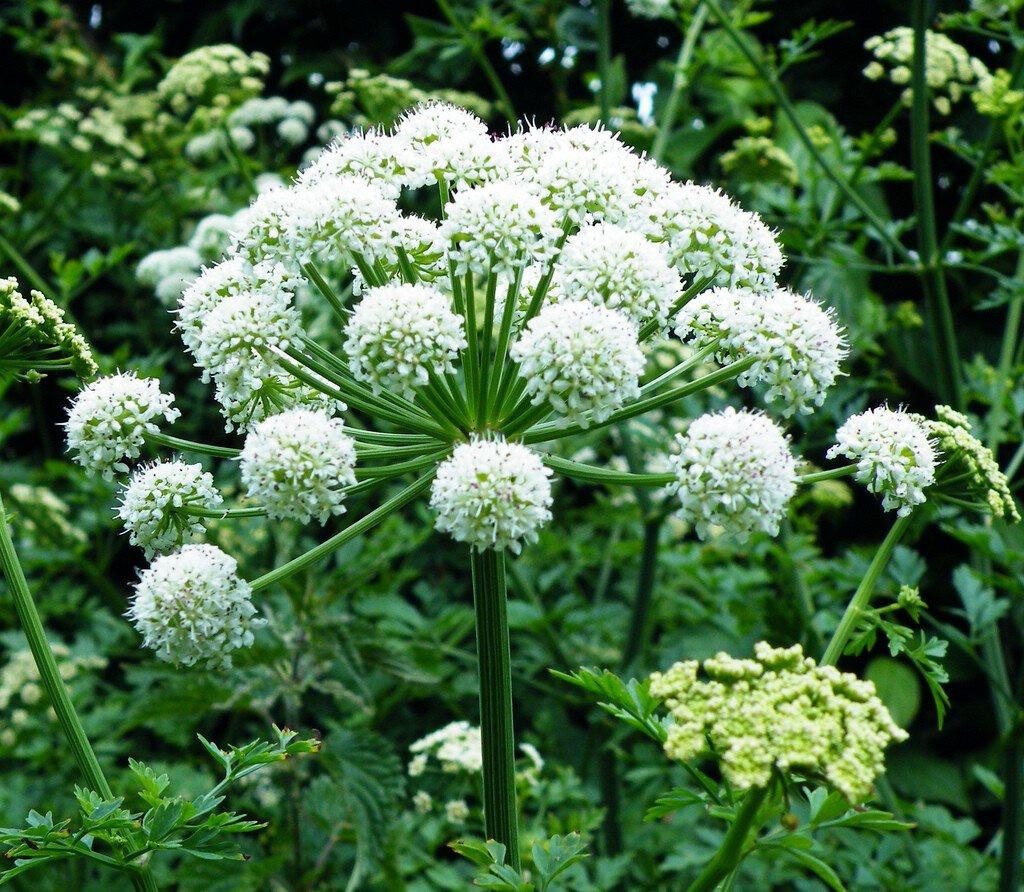 Angelica Organic 2 gal