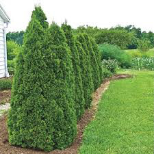 Thuja 'Green Giant' 7 gal