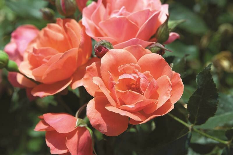 "Rose Knock Out ""Coral"" 2 gal."